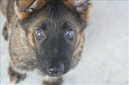 german shepherd  puppy Faust