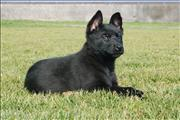 german shepherd  puppy Isis