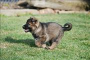 german shepherd  puppy Yana