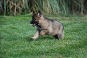 german shepherd  puppy Yaz