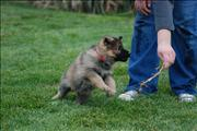 german shepherd  puppy Yazett