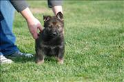 german shepherd  puppy Yessica