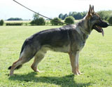 German Shepherd dog  Enzo