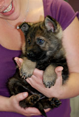 german shepherd  puppy Ansel