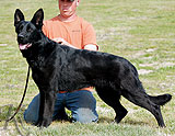 German Shepherd female Agira Bruce Lee