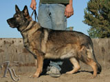german shepherd  dog  Aika vom Wogenfeld