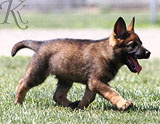 german shepherd  dog  Athena