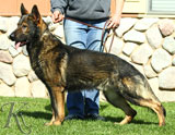 German Shepherd dog  Atrax