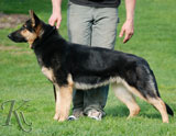 german shepherd  Axeena