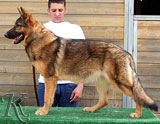 german shepherd  dog  Axi