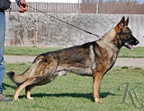 German Shepherd dog  Bandit