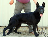 german shepherd  dog  Brenae