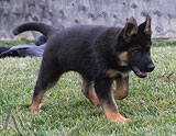 german shepherd puppy Cari