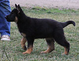 german shepherd puppy Cecy