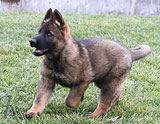 german shepherd puppy Cronik