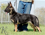 german shepherd Dana