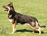 German Shepherd dog  Danny