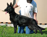 german shepherd Desiree