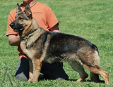german shepherd dog Donia