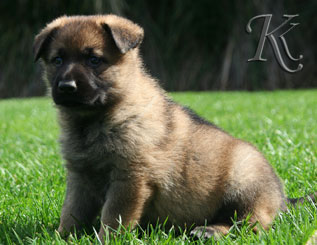 german shepherd  puppy Delila