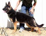 german shepherd  Dona