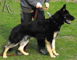 german shepherd  dog  Eik