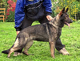 German Shepherd female Eliska