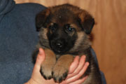 german shepherd  puppy Flora
