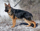 German Shepherd dog  Skotch