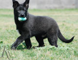 german shepherd  puppy Falco