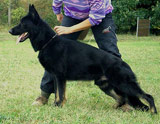 german shepherd Fantom