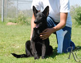 german shepherd  puppy Farkas