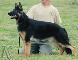German Shepherd dog  Ferol