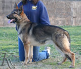 german shepherd  dog  Fritz