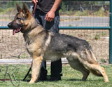 trained German Shepherd  dog for sale
