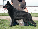 german shepherd Gerix