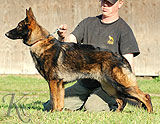 german shepherd Gero