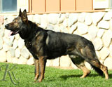 German Shepherd male Gero Bohemia Abakan