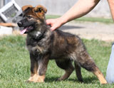 german shepherd puppys Gevin