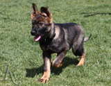 german shepherd puppy Gina