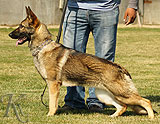trained personal protection belgian malinois dog for sale