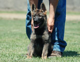 german shepherd puppy Gollux