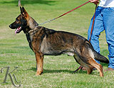 german shepherd Goody