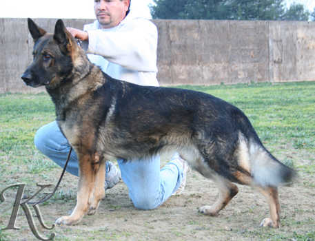 german shepherd  dog  Harky