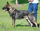 german shepherd Heiro