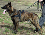 German Shepherd protection dog for sale