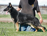 german shepherd dog Hexer