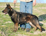german shepherd  dog  IBI od Tmaveho vlka