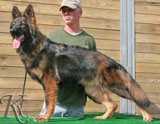 german shepherd  dog  Ibizen
