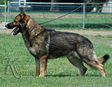 German Shepherd male Itar Jipo Me